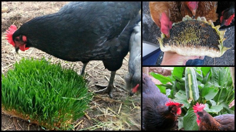 Eight Healthy Homemade Treats For Your Chickens