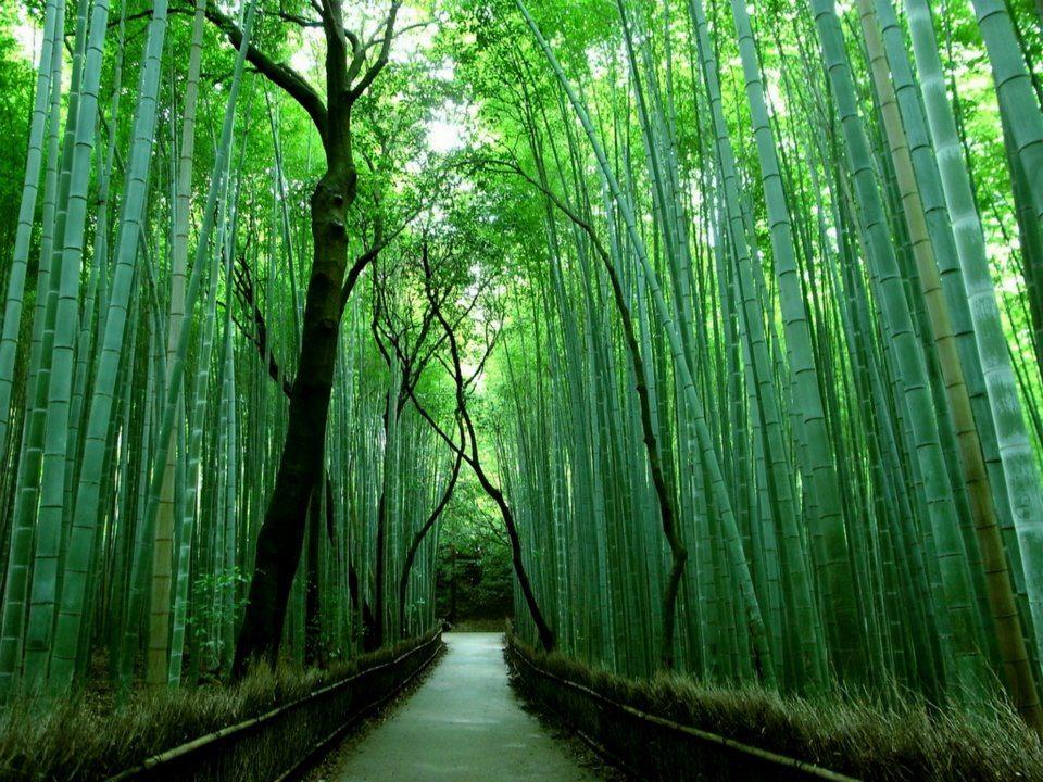 Sagano Bamboo Forest - Kyoto area Japan