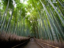 Sagano Bamboo Forest - Kyoto area Japan