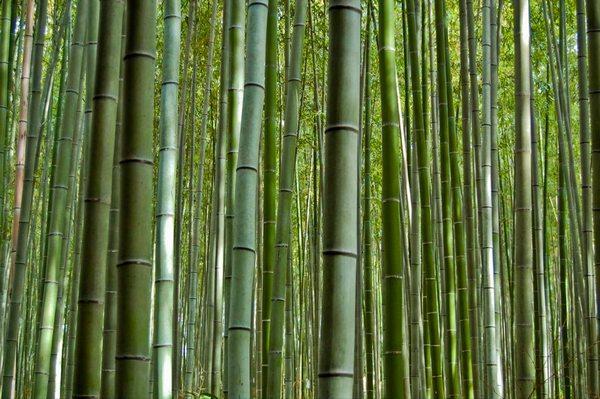 The Sagano Bamboo Forest - Kyoto Japan