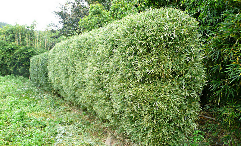 Bamboo Screens and Hedges - Bamboo Garden