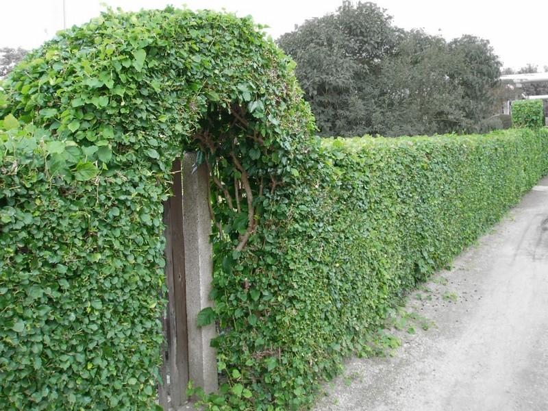 Fence Hedge Path