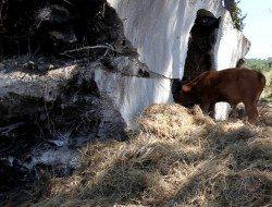 Trufa by Anton Garcia Abril - Paulina, the cow, eats away hay