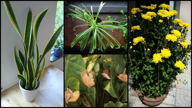 Houseplants Purify Air Home