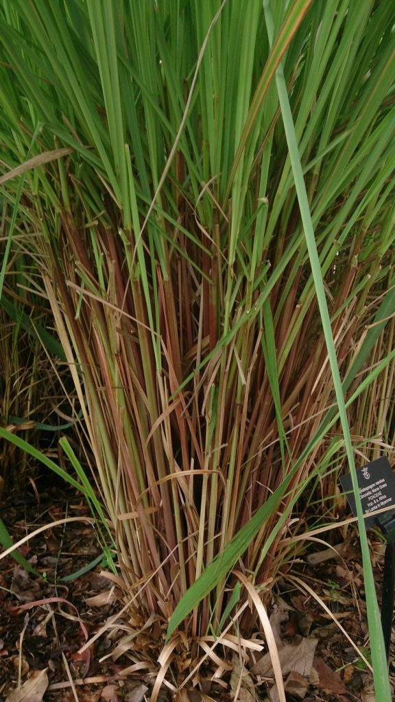 Mosquito-Repelling Plants