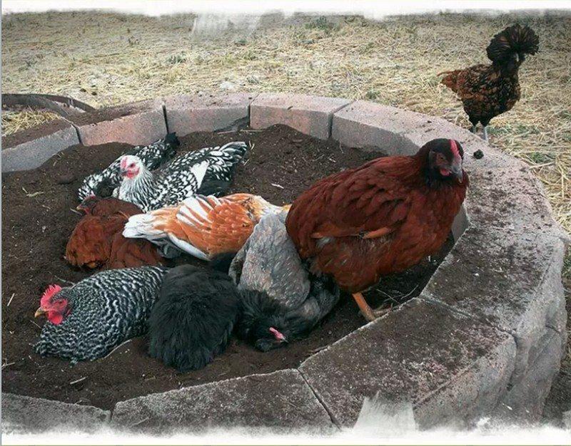 Chicken Dust Bath Ideas