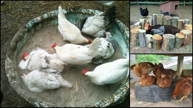 Chicken Dust Bath Ideas Main Image