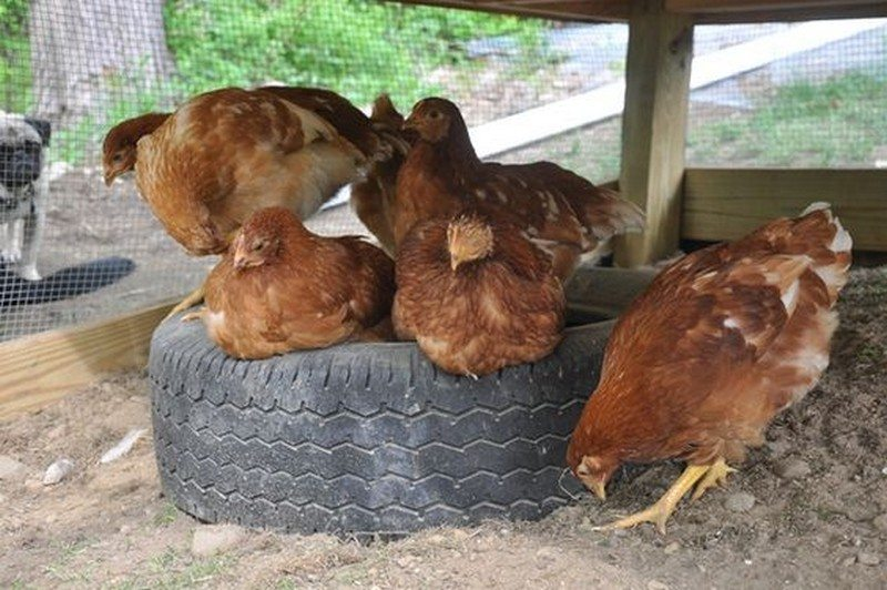Toys For Chicks : Toys for your backyard chickens the owner builder network