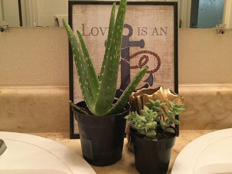 The Aloe Vera requires minimal care.