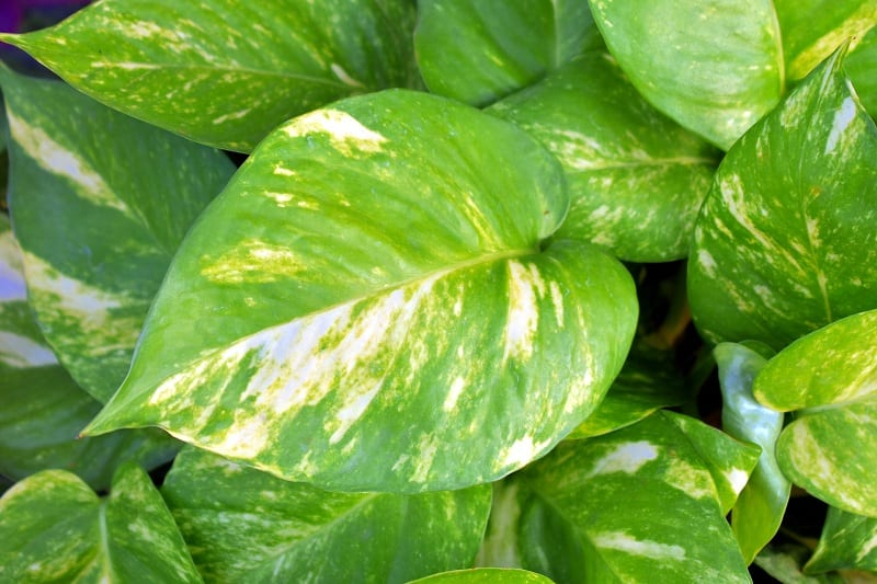 The Golden Pothos will make itself at home in your bathroom.