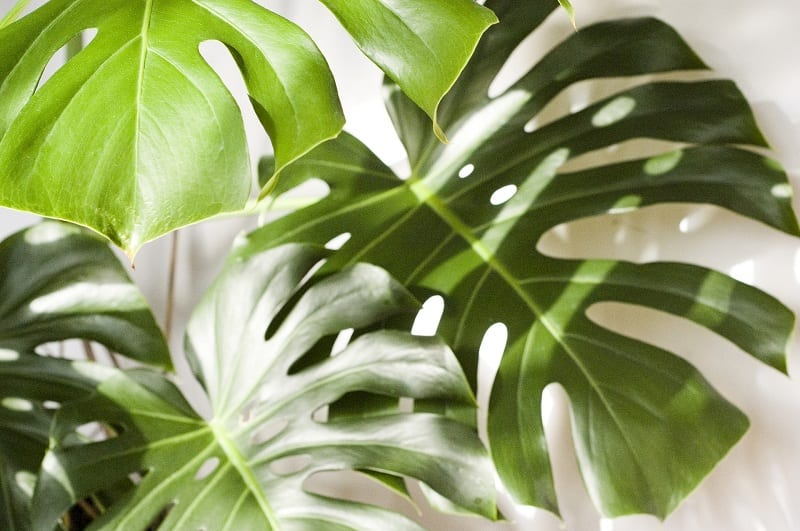 The monstera is a  wonderful houseplant.