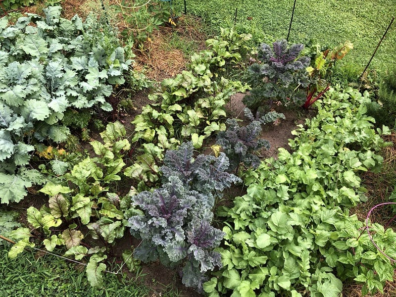 Proper watering allows your plants to become well-formed, mature vegetables.