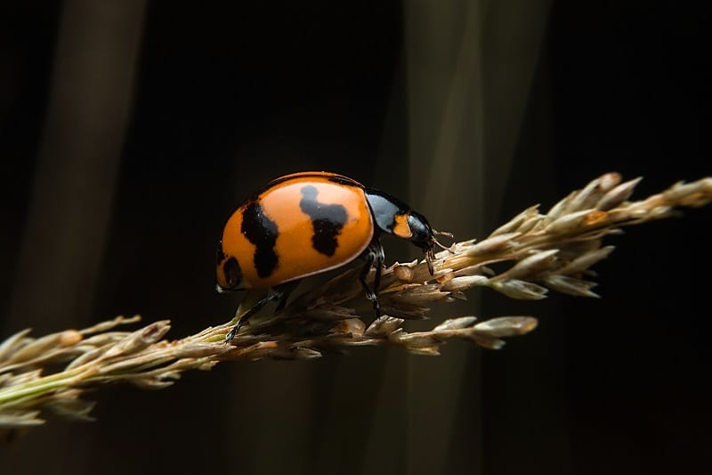 Beneficial insects can be your best friends, especially ladybugs.